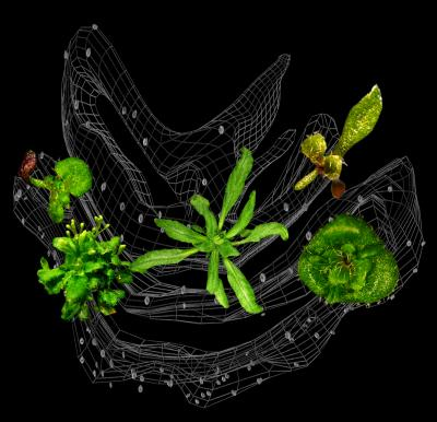 Arabidopsis and mutants
