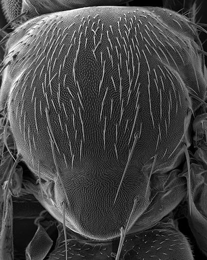 Hairs on the back of a fly