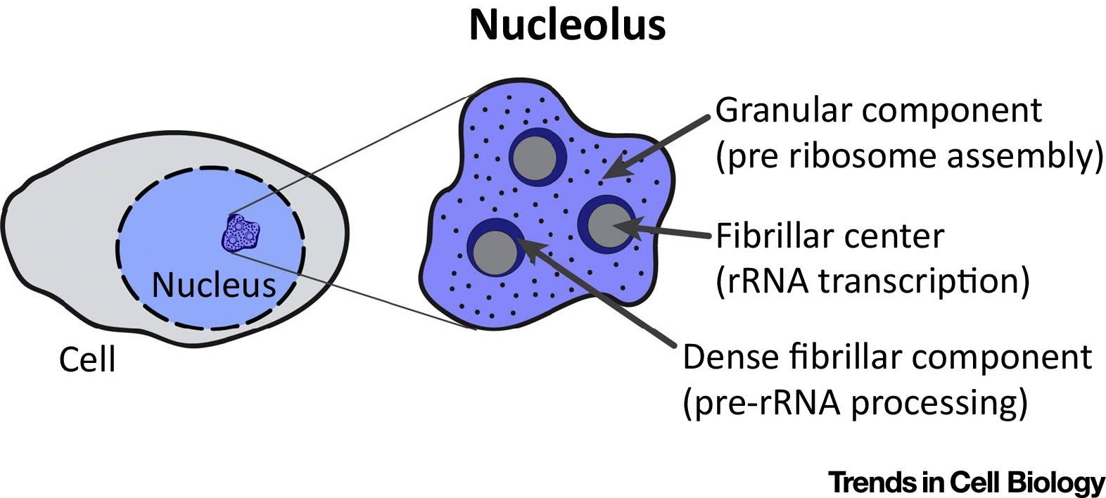 Cell Nucleolus Diagram Automotive Wiring Labeled Eukaryotic Welcome To The Visible Embryo Rh Visembryo Com Animal