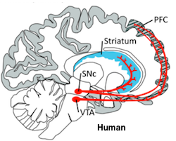 Prefrontal Cortex of Human in hatched lines