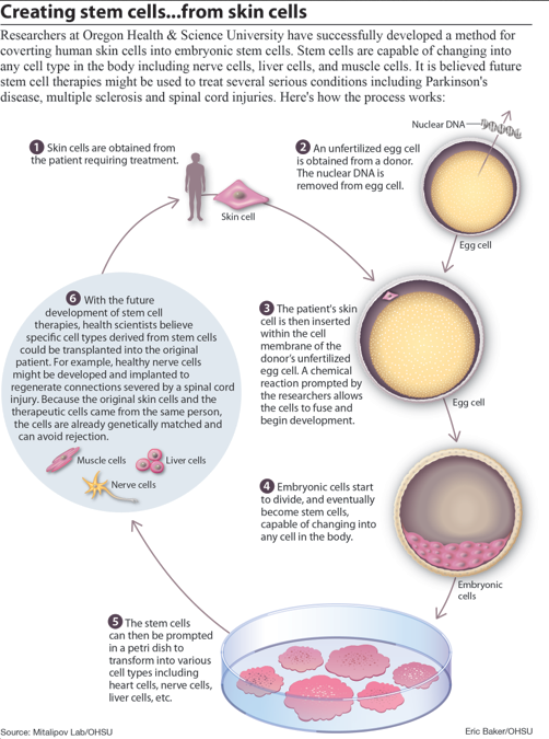 Stem cells from skin diagram