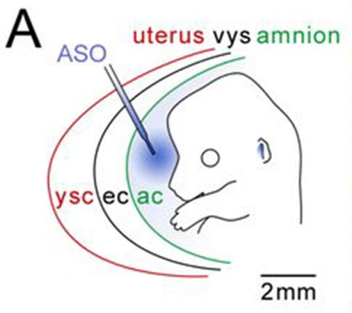 Welcome to The Visible Embryo  Welcome to The ...